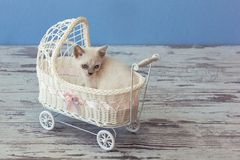 Kitten of Scottish straight breed sitting in small stroller Stock Images