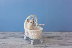 Kitten of Scottish straight breed sitting in small stroller Royalty Free Stock Image