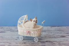 Kitten of Scottish straight breed sitting in small stroller Stock Photography