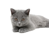 Kitten (Scottish Straight breed) on a white ba Stock Photos