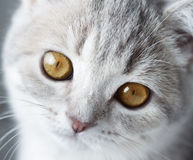 Kitten Scottish Straight. close-up Stock Photos