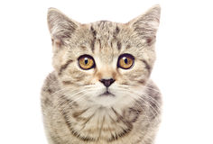 Kitten Scottish Straight closeup Stock Images
