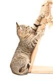 Kitten Scottish Straight, die seine Greifer schärft Lizenzfreies Stockbild