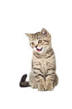 Kitten Scottish Straight meows Royalty Free Stock Photos