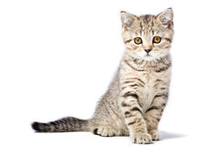 Kitten Scottish Straight Stock Photos