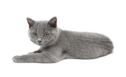 Kitten (Scottish Straight) on white background Stock Photo