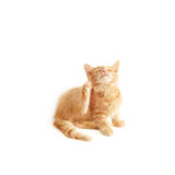 Kitten scratching Stock Images