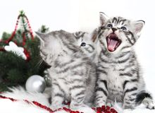 The kitten screams meow. Kittens and Christmas Royalty Free Stock Photo