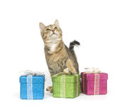 Kitten selecting a gift. A kitten looks over three gift boxes on a white background Royalty Free Stock Photos