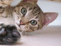 Kitten Selfie Foto de Stock Royalty Free
