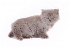 Kitten Selkirk Rex på vita bakgrundsgrå färger färgar, katten fången skräck royaltyfri foto