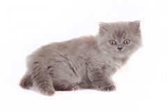 Kitten Selkirk Rex on white background gray color, cat got scare Royalty Free Stock Photo