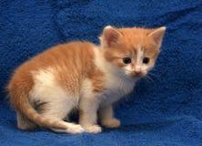 Kitten shorthair cat European. Little red and white kitten shorthair cat European Royalty Free Stock Photography