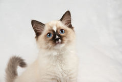 Kitten showing off blue eyes. Ragdoll kitten on white/silver background, tail curled and showing off blue eyes Royalty Free Stock Images