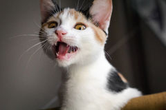 Kitten showing teeth Royalty Free Stock Photo