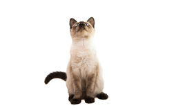 Kitten siamese in high definition Royalty Free Stock Photography