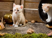 Kitten Siblings Royalty Free Stock Image
