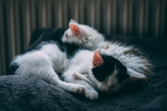 Kitten siblings sleeping next to each other. Cute kitten siblings sleeping next to each other peacefully on a blanked Stock Photos