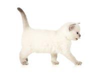 Kitten side view Royalty Free Stock Image