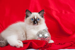 Kitten with silver ball. Seal point Ragdoll kitten with silver ball on red background royalty free stock photography