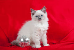 Kitten with silver glass ball. Blue point Ragdoll kitten against red background with silver glass ball royalty free stock photo