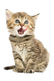 Kitten sits Licked. Kitten sitting Licked open mouth. Kitten looking up royalty free stock photos