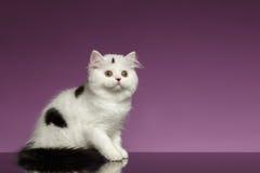 Kitten Sits recta escocesa blanca en púrpura imagen de archivo libre de regalías
