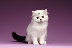 Kitten Sits recta escocesa blanca linda y mirada abajo fotografía de archivo