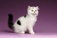 Kitten Sits recta escocesa blanca y mirada para arriba en púrpura fotografía de archivo