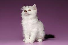 Kitten Sits recta escocesa blanca y mirada para arriba en púrpura imagen de archivo libre de regalías