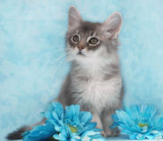 e1e17e2e5ae Kitten sitting amongst flowers. 10 week old blue silver somali kitten sits  among blue artificial