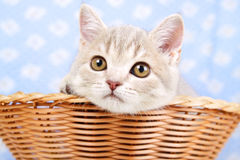 Kitten sitting in basket Royalty Free Stock Image