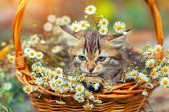 Kitten sitting in a basket with flowers Stock Photos