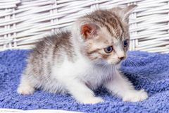 Kitten sitting in a basket. Little kittens in a basket with a towel royalty free stock photography