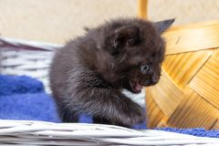 Kitten sitting in a basket. Little kittens in a basket with a towel stock images