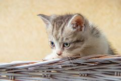 Kitten sitting in a basket. Little kittens in a basket with a towel royalty free stock images