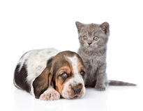 Kitten sitting with basset hound puppy. isolated on white.  stock photo