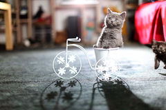 Kitten sitting in a bike flower pot. British Shorthair kitten sitting in a flower pot bicycle Royalty Free Stock Photography