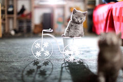 Kitten sitting in a bike flower pot. British Shorthair kitten sitting in a flower pot bicycle Royalty Free Stock Image
