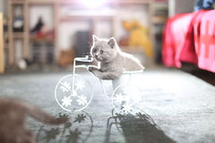 Kitten sitting in a bike flower pot. British Shorthair kitten sitting in a flower pot bicycle Stock Photography