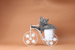 Kitten sitting in a bike flower pot. British Shorthair kitten sitting in a flower pot bicycle Stock Images