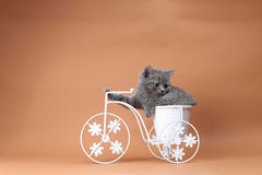 Kitten sitting in a bike flower pot. British Shorthair kitten sitting in a flower pot bicycle Stock Image