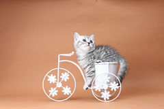 Kitten sitting in a bike flower pot. British Shorthair kitten sitting in a flower pot bicycle Royalty Free Stock Photos