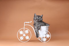 Kitten sitting in a bike flower pot. British Shorthair kitten sitting in a flower pot bicycle Royalty Free Stock Images