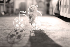 Kitten sitting in a bike flower pot. British Shorthair kitten sitting in a flower pot bicycle Royalty Free Stock Photo