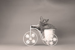 Kitten sitting in a bike flower pot. British Shorthair kitten sitting in a flower pot bicycle Stock Photo