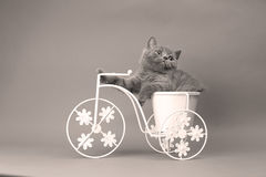 Kitten sitting in a bike flower pot. British Shorthair kitten sitting in a flower pot bicycle shape Stock Images