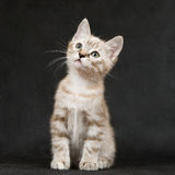 Kitten sitting on a black. Royalty Free Stock Photos