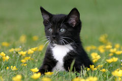 Kitten sitting in Buttercups Royalty Free Stock Photography