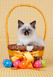 Kitten sitting in Easter basket. Ragdoll kitten sitting inside Easter egg basket with easter eggs in foreground royalty free stock photo